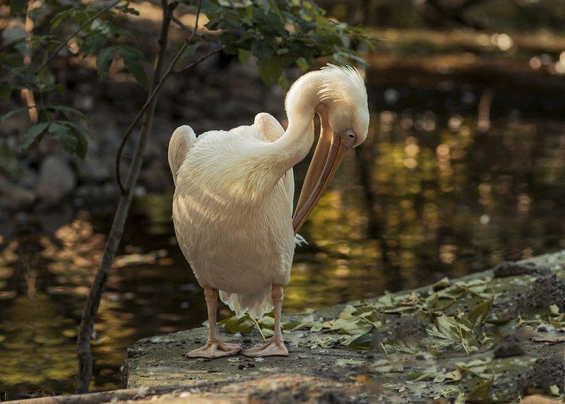 пеликан Без стайлинговых средств.photo preview
