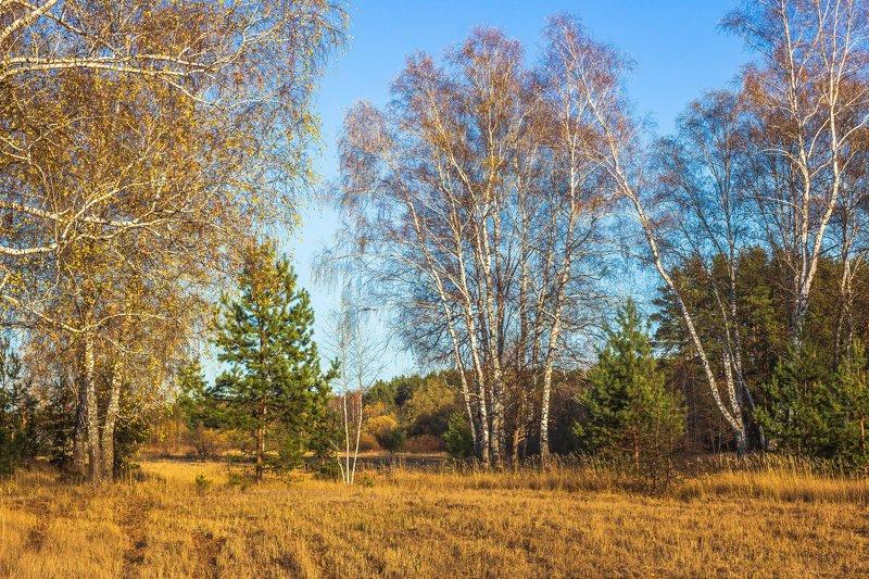 осень, лес, октябрь, берёзы, сосны, заповедник photo preview