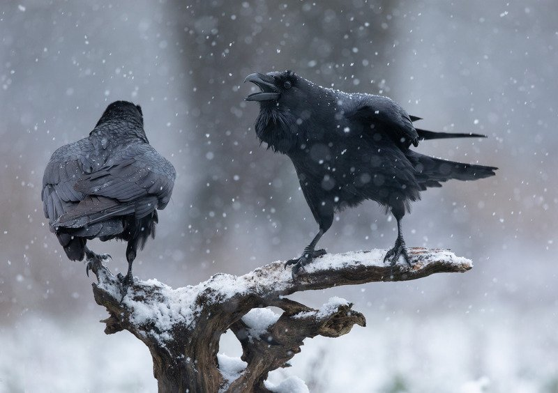 ворон, птицы, снег, А ну, прочь отсюда!photo preview