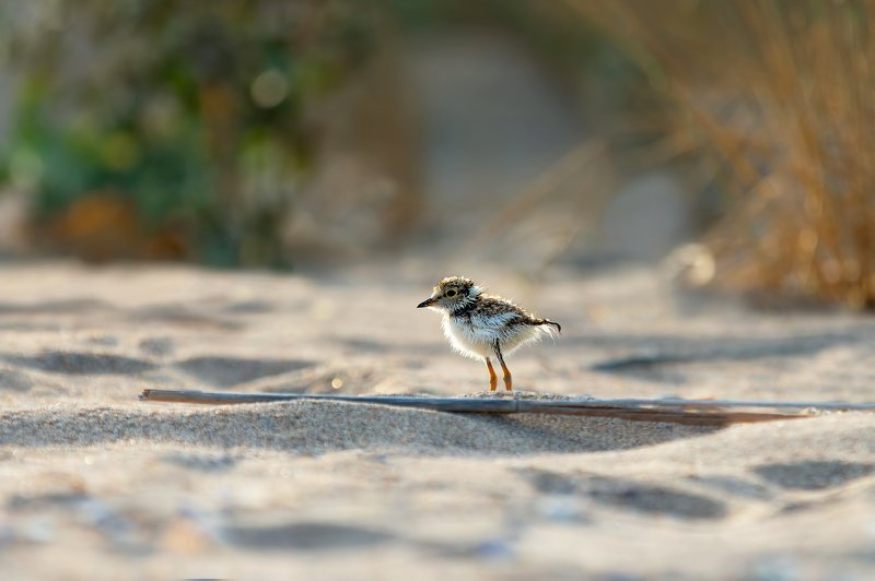 #common ringed plover #charadrius hiaticula Common ringed ploverphoto preview