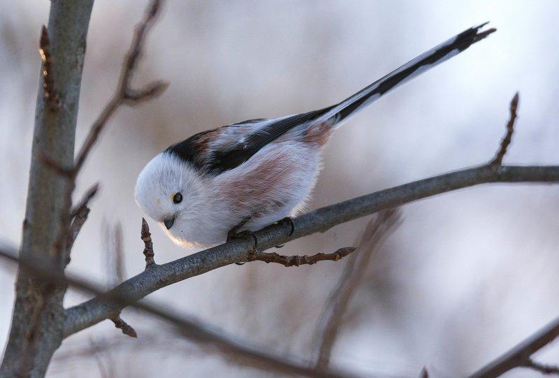 птица синица ополовник Ополовникphoto preview