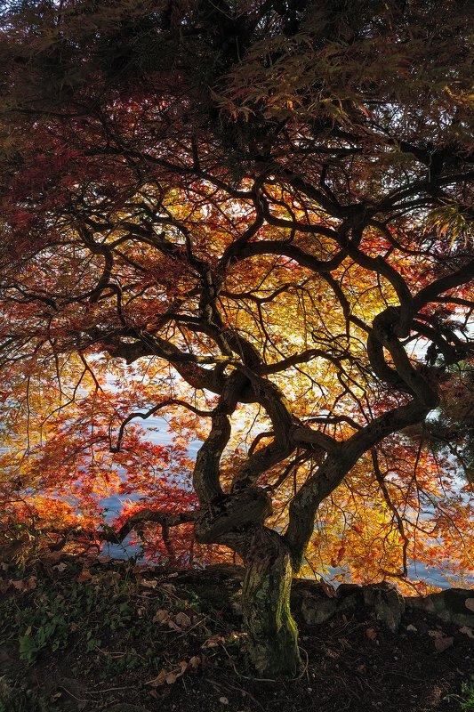 дерево, осень, листья, желтый, багряный, *Сеть*photo preview