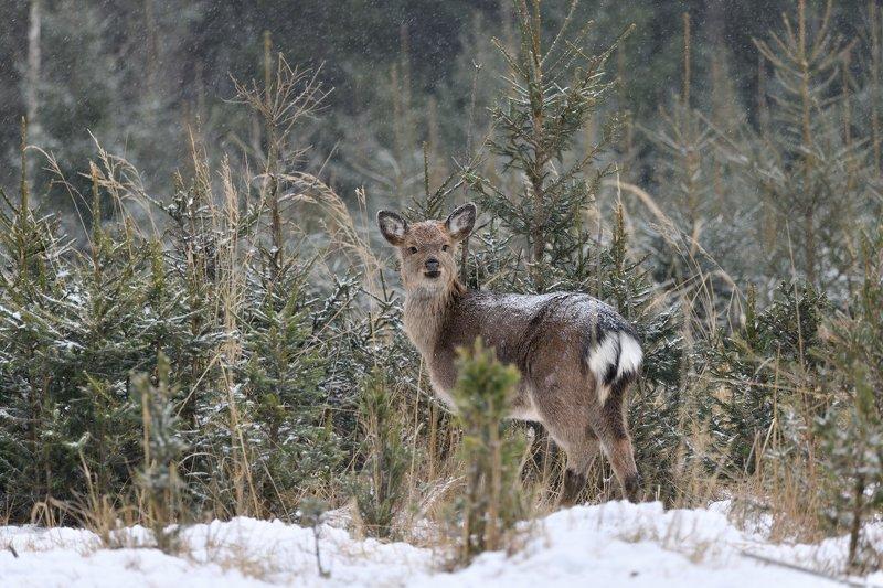 лес,снег,животные,оленёнок,спрятался ***photo preview