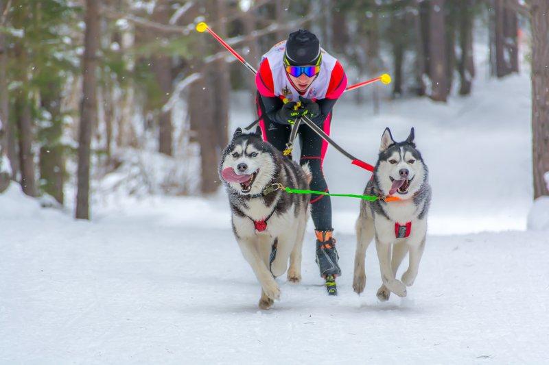 упряжка собаки лыжи зима скиджоринг photo preview