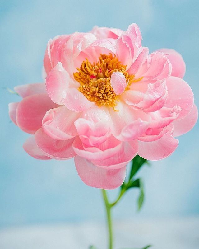 лето, пионы, свет, розовый, желтый, букет photo preview