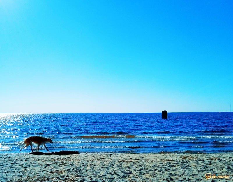 море,лягавая,собака ****photo preview