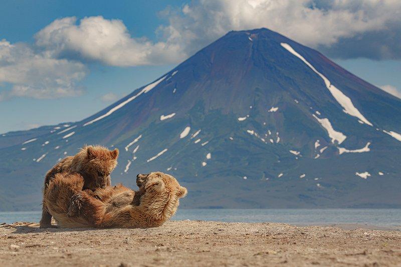 Камчатка, вулкан, медведь, природа, путешествие, фототур, пейзаж, животные Завтрак с видом на вулканphoto preview
