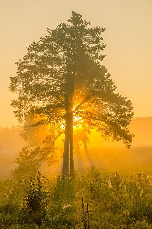 солнце лето сосна дерево туман Солнце запуталось в ветвяхphoto preview