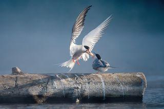 Принц с белыми крыльями