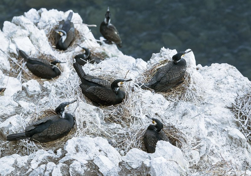 Большой баклан птицы Байкал Наседкиphoto preview