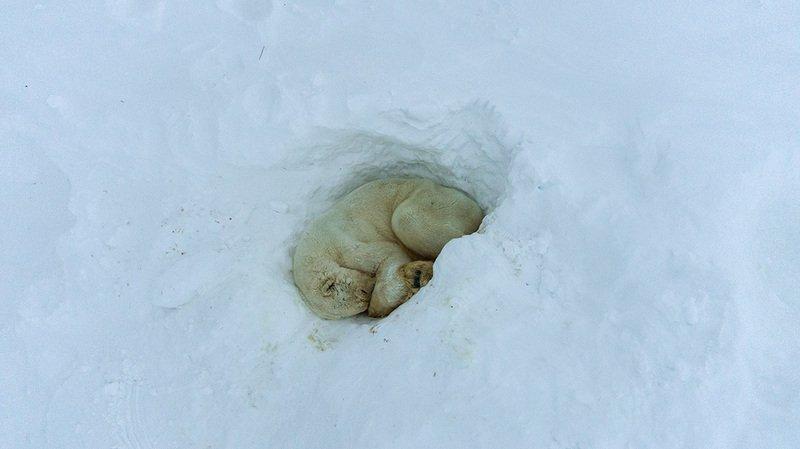 чукотка, арктика, север, снег, медведь, белый, полярный, морской .....photo preview