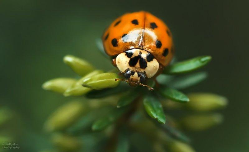 макро, природа, насекомые, божья коровка, зеленый, боке, macro, nature, insects, ladybug, green, bokeh, ***photo preview