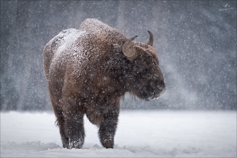 беларусь, зубр, красный бор, зима, год быка, 2021, wisent, aurochs, winter БРОДЯГАphoto preview