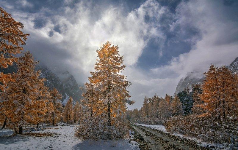 горный алтай,осень,долина актру,лиственницы,снег Осенние  лиственницы..photo preview