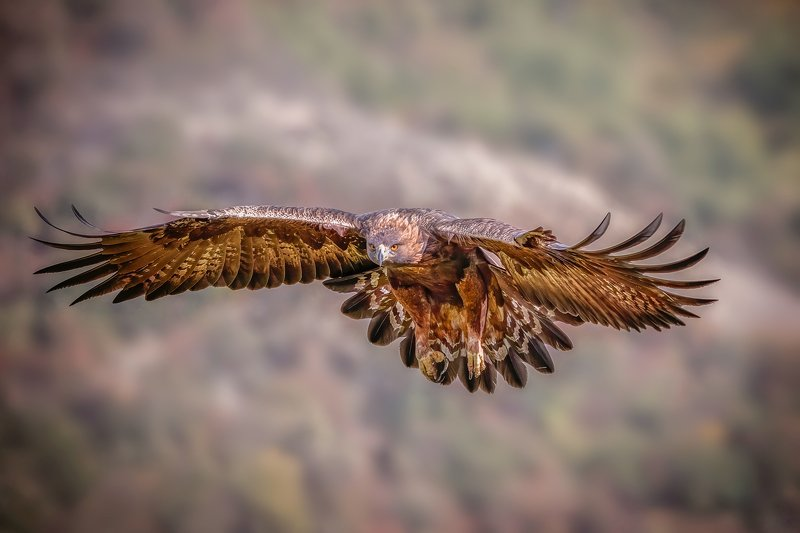 Golden eagle (Aquila chrysaetos)...photo preview