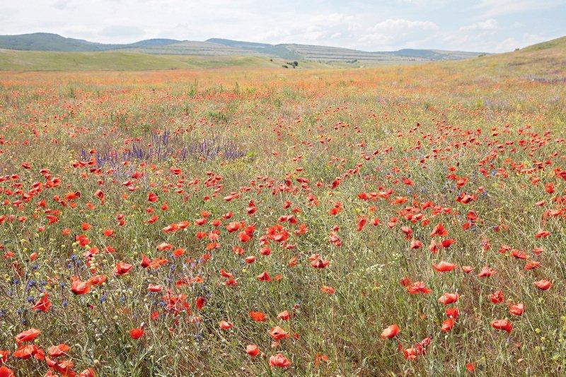 маки, поле, пейзаж, степь, крым Маковое полеphoto preview