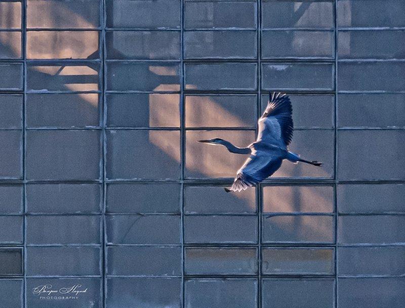 цапля серая, полёт, концепт, клетка Синяя птица фото превью