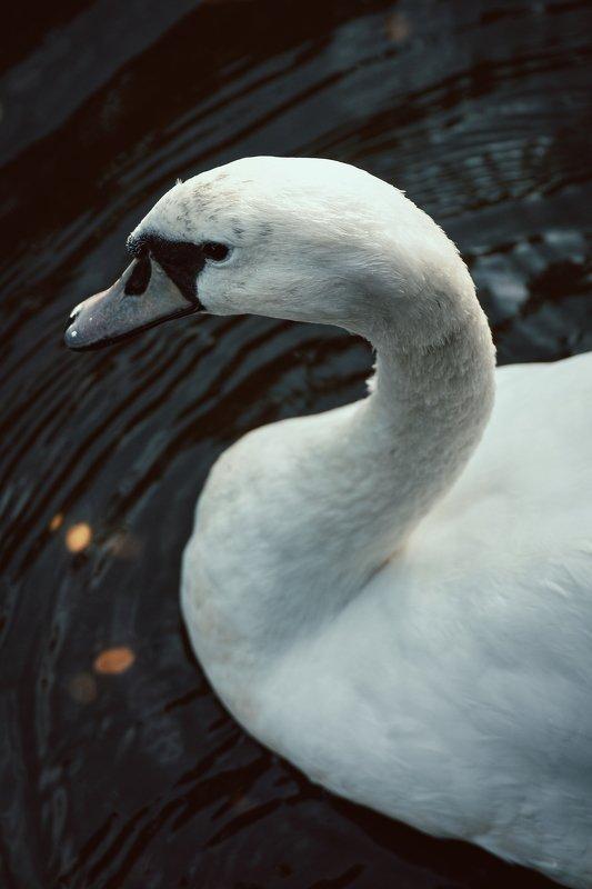 вода, животное, клюв, лебедь, перья, птица swanphoto preview