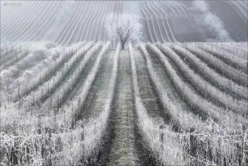 czech, morava, moravia, winter, cherry, christmas, чехия,южная моравия, зима, фототур в южную моравию Зимняя вишняphoto preview