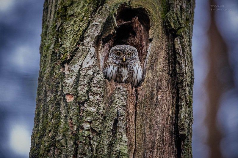 птицы, фотоохота, сова, сычик В темно-синем лесуphoto preview