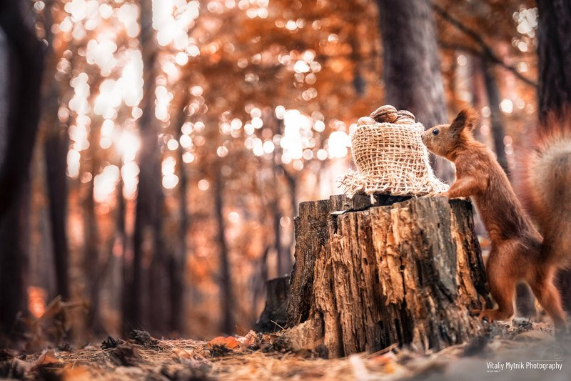 squirrel and nuts, squirrel, nuts, No People, Photography, Outdoors, Nature, Animal Wildlife, Animals In The Wild, Day, Animal Themes, autumn, forest, wildlife, squirrel and nutsphoto preview