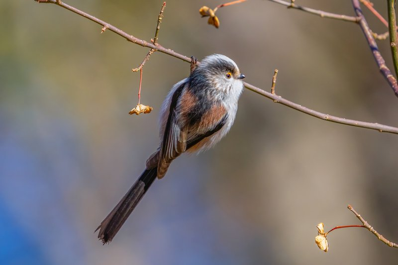 Длиннохвостая синица (Aegithalos caudatus)...photo preview