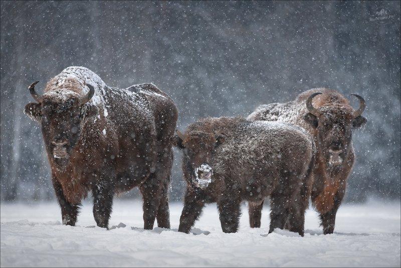 беларусь, зима, красный бор, фотоохота, природа беларси Let It Snow ..photo preview