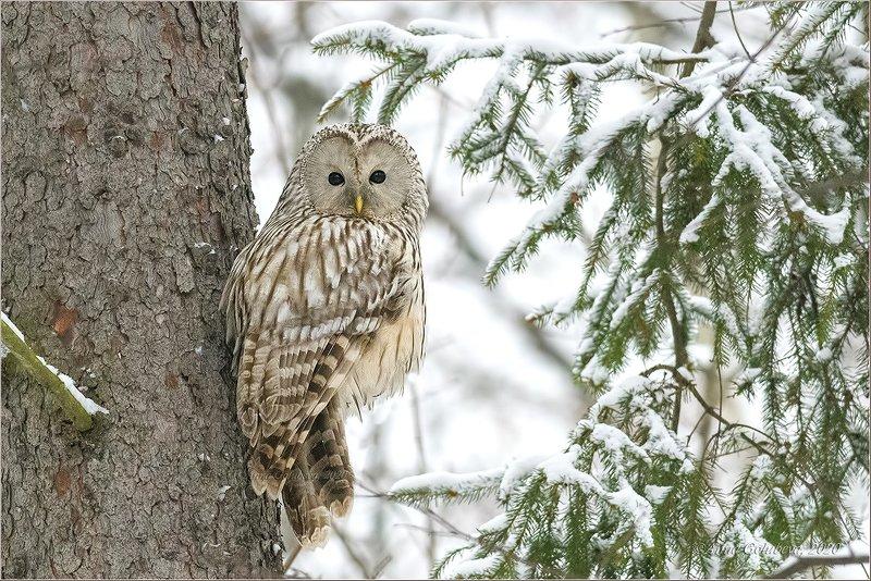 птицы, природа, сова, неясыть длиннохвостая, strix uralensis , ural owl, зима, декабрь, 2020 У ёлочкиphoto preview