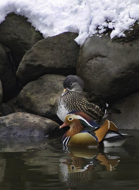птица, мандаринка, зима, снег Январский деньphoto preview