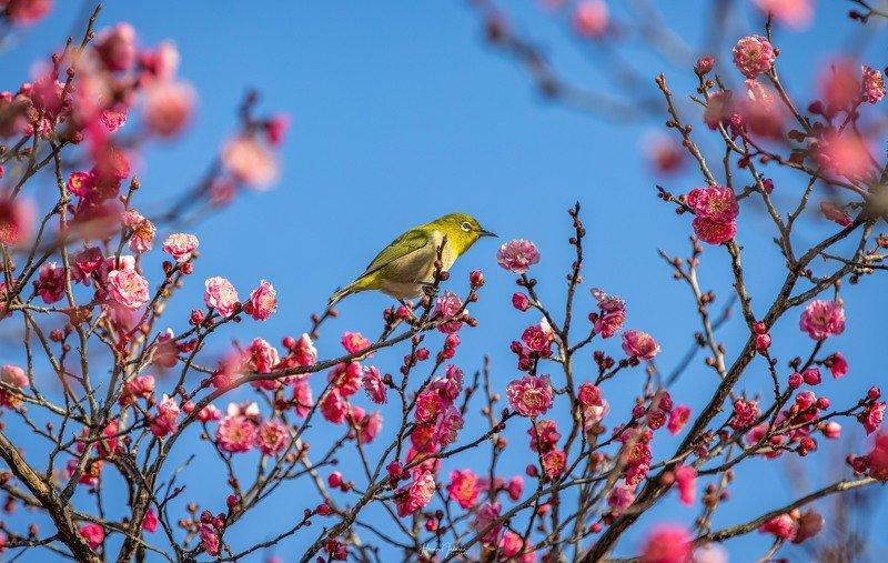 [ Plum Blossoms ]photo preview