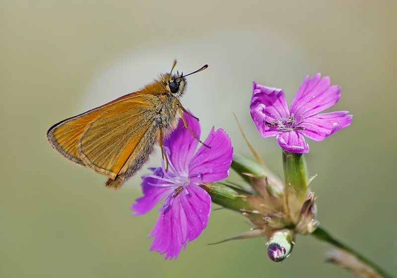 Бабочка Толстоголовкаphoto preview