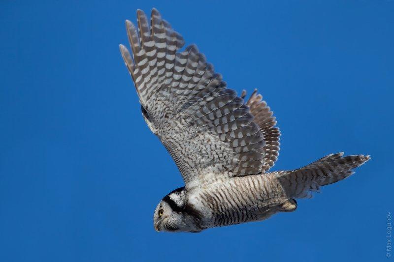 Ястребиная сова в полетеphoto preview