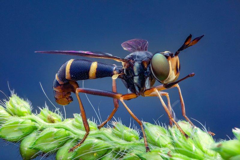 макро, муха, большеголовка, насекомые, макрофото, макромир, Большеголовкаphoto preview