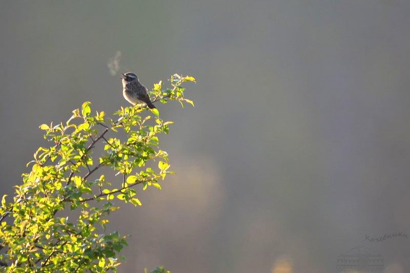 птицы, луговой чекан, birdwatching, дикая природа, birds, wildnature Утреннее дыхание весныphoto preview