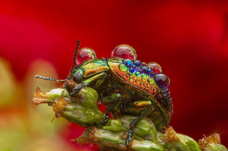макро, насекомые, листоед, отражение, капли, природа Листоед ясноточныйphoto preview