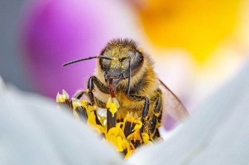 макро, пчела, лето, природа, макромир, сад, Весёлая пчёлкаphoto preview