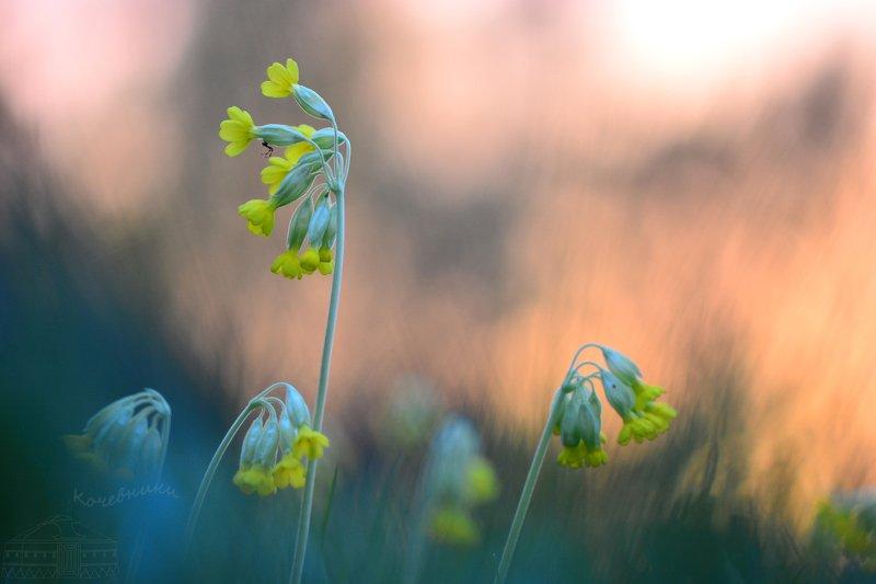 весна, макросъемка, макро, первоцветы, цветы Вспоминая веснуphoto preview