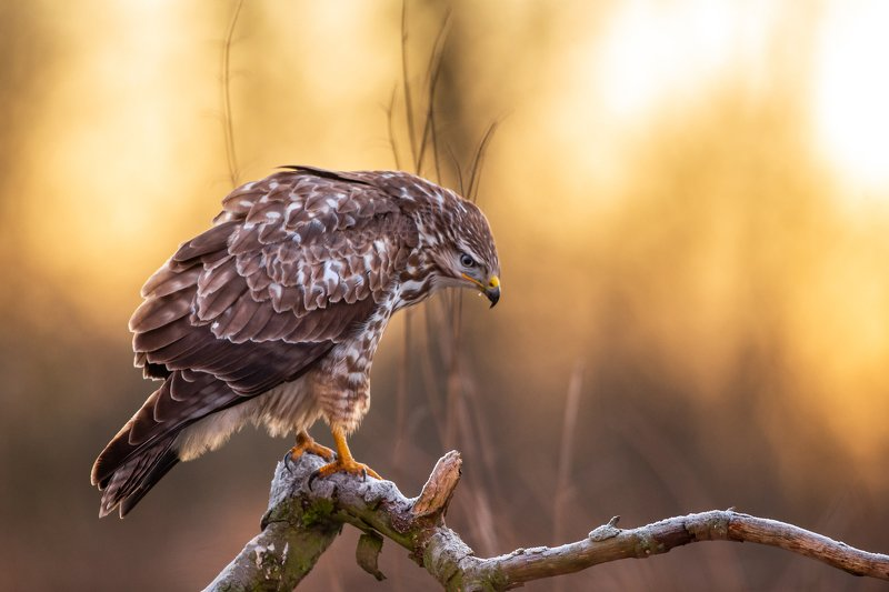 buteo buteo, bird, winter Morning lightphoto preview