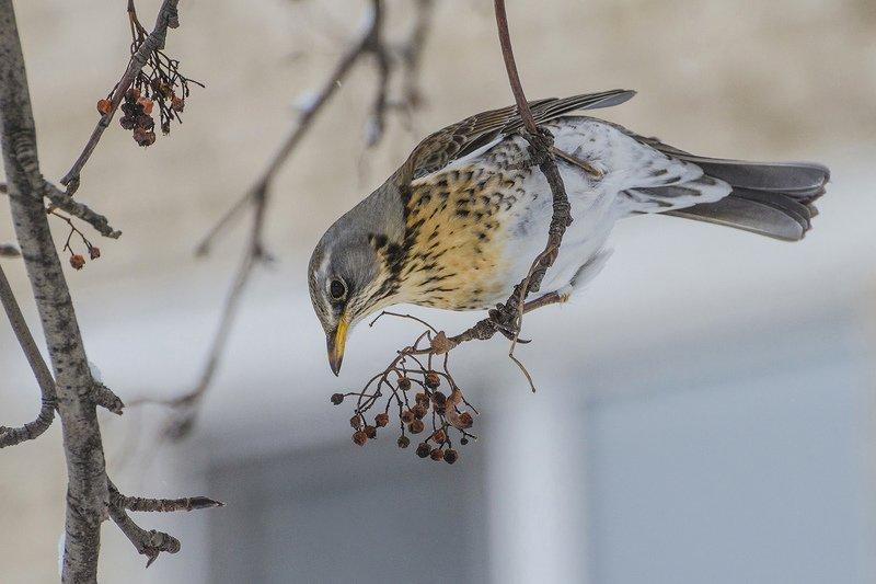 птица, дрозд, рябинник Ягода рябина за собой манила...photo preview