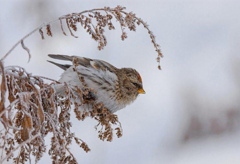 птица чечётка Чечётка на морозеphoto preview