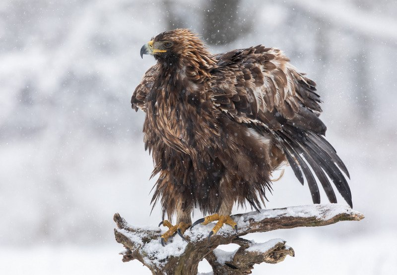 беркут, птицы, хищник, снег, Перезагрузкаphoto preview