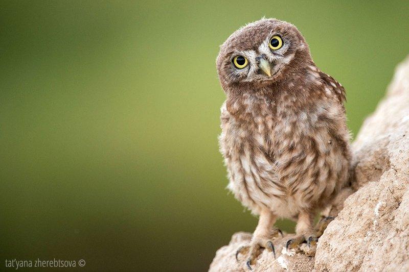 owl, my-mriya, mymriya, wildlife, little owl, Домовые сычи..photo preview