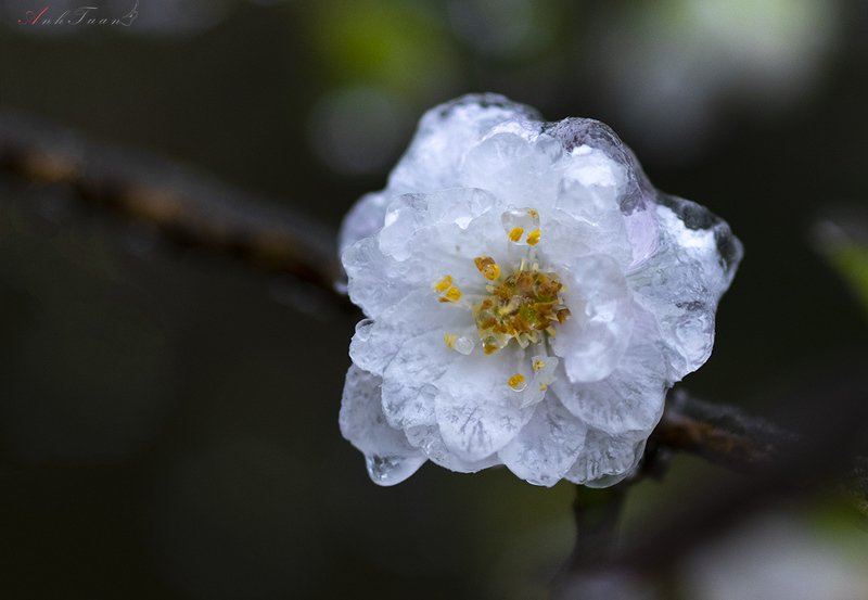 #sellingphoto.#macro.#flowers in ice flowers in icephoto preview