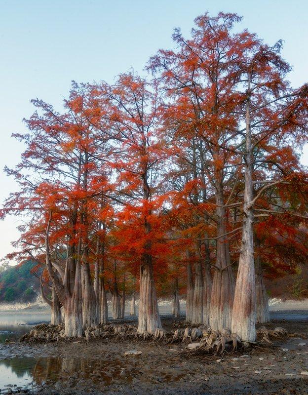 Утро болотных кипарисовphoto preview