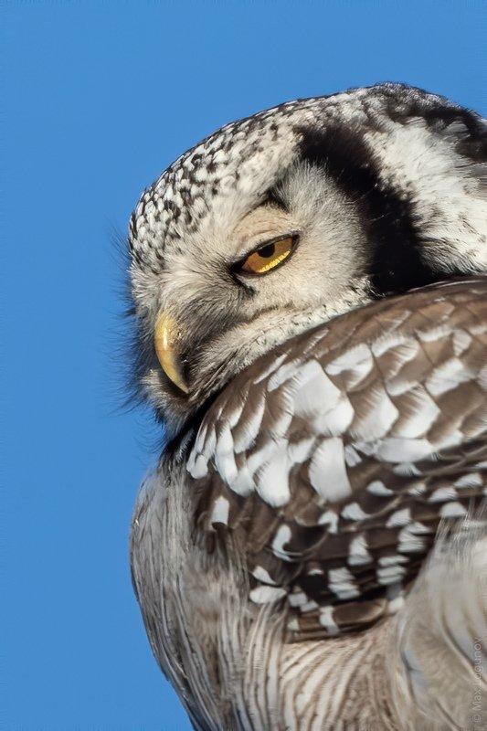 сова Ястребиная сова что то замышляетphoto preview