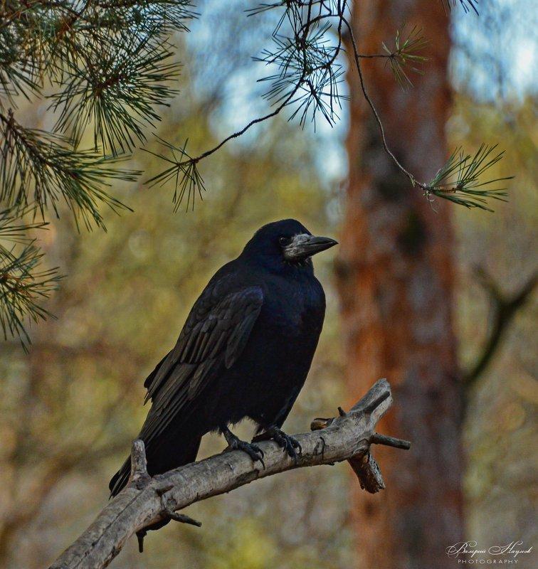 зима, лес, грач Его пернатое сиятельство Грач фото превью