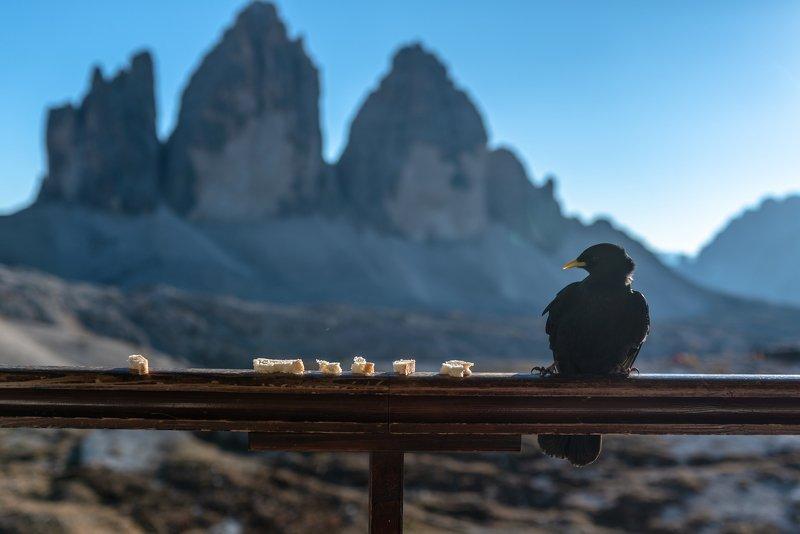 доломиты, альпы, италия, доломитовые альпы, галки, птицы, хлеб, еда Завтрак альпийской галкиphoto preview