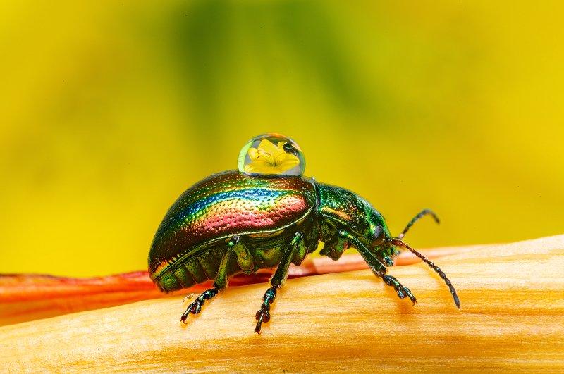 макро, насекомые, листоед, отражение, капли, природа Я несу Вам красотуphoto preview