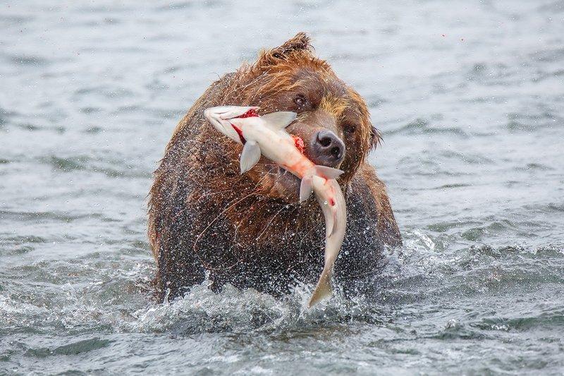 Камчатка, медведь, животные, природа, путешествие, фототур,  Рыбалка удалась!!!photo preview