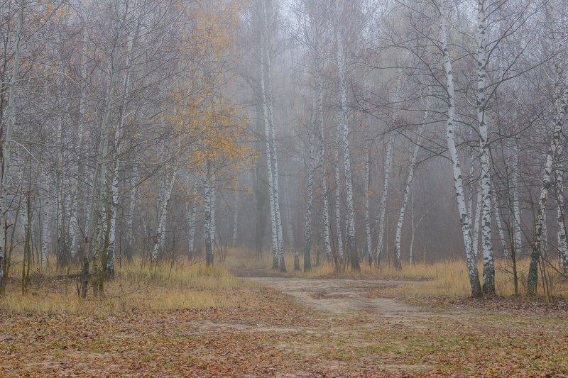 лес, березы, осень, ноябрь, туман, природа photo preview